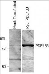 GTX14615 - PDE4B3