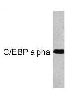 GTX15047 - CEBPA