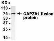 GTX15735 - CAPZA1