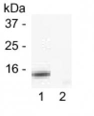 GTX16076 - Cytochrome c