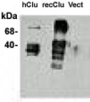 GTX16077 - Apolipoprotein J / Apo J