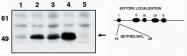 GTX16465 - TP53 / p53