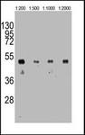 GTX16918 - HA Epitope Tag (YPYDVPDYA)