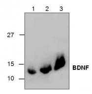 GTX17534 - BDNF