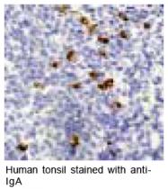 GTX17839 - Human IgA