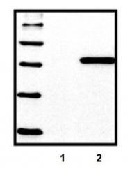 GTX18184 - 6xHistidine Epitope Tag