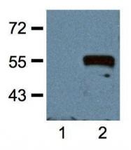 GTX18185 - c-Myc Epitope Tag (EQKLISEEDL)