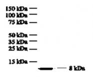 GTX18649 - Interleukin-8 / IL8