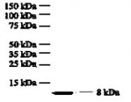 GTX18672 - Interleukin-8 / IL8