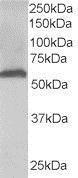 GTX19072 - 58K Golgi Protein