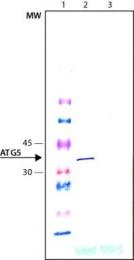 GTX19130 - APG5L / ATG5