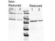 GTX20616 - Beta-galactosidase tag