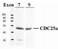 GTX20991 - CDC25A