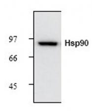 GTX21429 - Heat Shock Protein 90 / HSP90