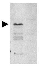 GTX21436 - CD284 / TLR4