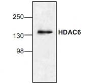 GTX21440 - HDAC6
