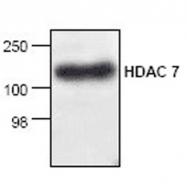 GTX21441 - HDAC7