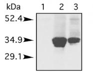 GTX21938 - Histone H1