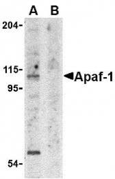 GTX22001 - APAF1