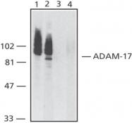 GTX22051 - CD156b / ADAM17