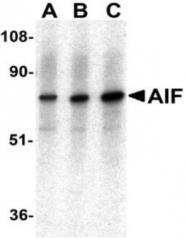 GTX22086 - AIFM1 / AIF