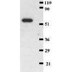 GTX22211 - CD41 / ITGA2B