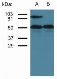 GTX22213 - CD54 / ICAM1