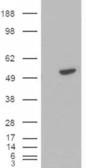 GTX22230 - B-cell linker protein / BLNK