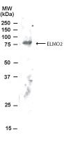 GTX22240 - ELMO2