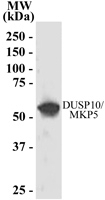 GTX22272 - DUSP10 / MKP5