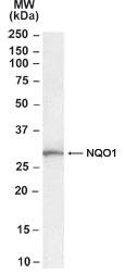 GTX22346 - NQO1
