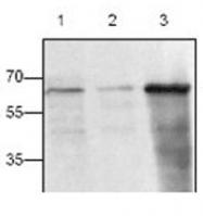 GTX22391 - CD154 / CD40L
