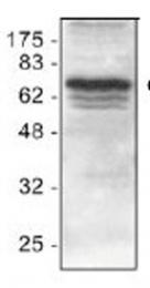 GTX22399 - IAP2 / BIRC2