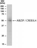 GTX22474 - CREB3L4 / AIBZIP