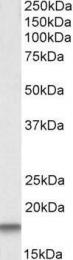 GTX22516 - Cystatin-C