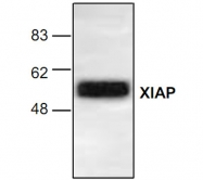 GTX22541 - IAP3 / BIRC4