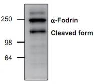 GTX22558 - Spectrin alpha chain (brain) / SPTAN1