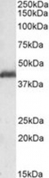 GTX22656 - PAFAH1B1 / LIS1