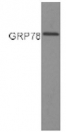 GTX22902 - HSPA5 / GRP78