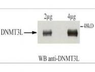 GTX23493 - DNMT3L
