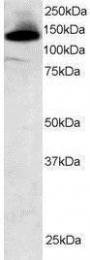 GTX23608 - SF3B3 / SAP130