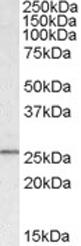 GTX23610 - SYF2
