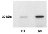 GTX23636 - KLK4 / Kallikrein-4