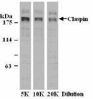 GTX23720 - Claspin