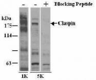 GTX23721 - Claspin