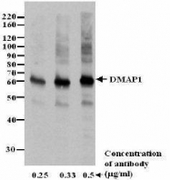GTX23737 - DMAP1