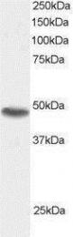 GTX23990 - Sorting nexin-15 (SNX15)
