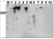 GTX24194 - DNA-PKcs / PRKDC / XRCC7