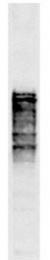 GTX24641 - Nuclear pore protein NSP1