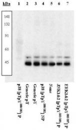 GTX24822 - MAP kinase p38